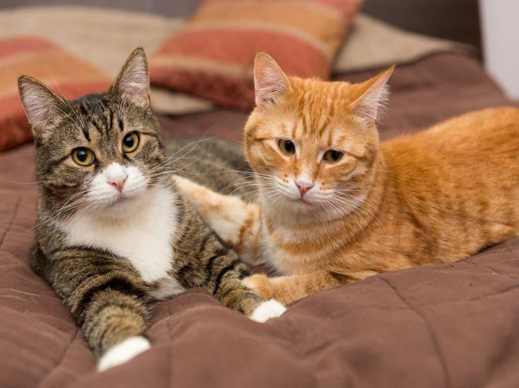 Diese Katzen sind ein Herz und eine Seele, doch das ist nicht immer so – Shutterstock / Okssi