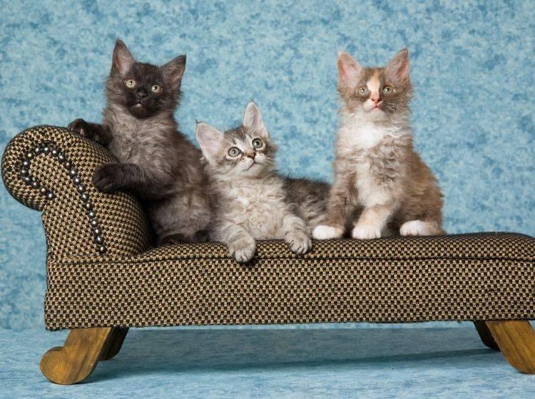 So flauschig: Niedliche LaPerm-Katzen im Dreierpack – Bild: Shutterstock / Linn Currie