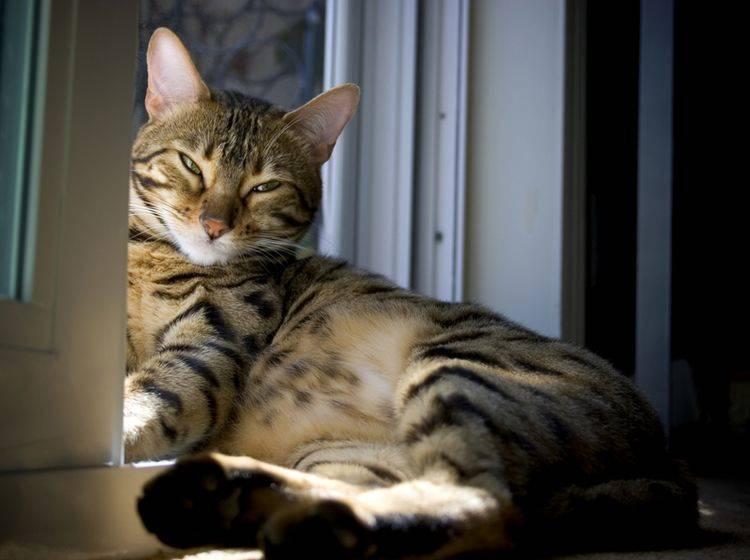 Diese Sokoke-Katze genießt ihr Sonnenbad – Shutterstock / David Pruter