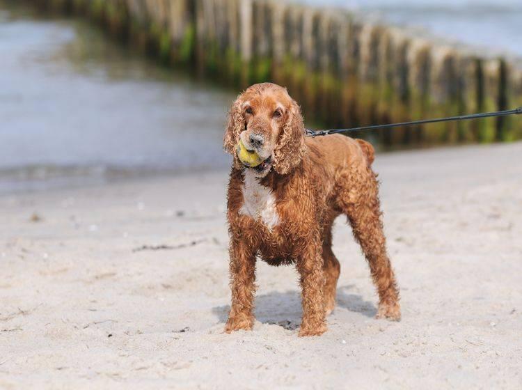 An manchen Hundestränden ist die Leine leider Pflicht – Shutterstock / AnetaPics