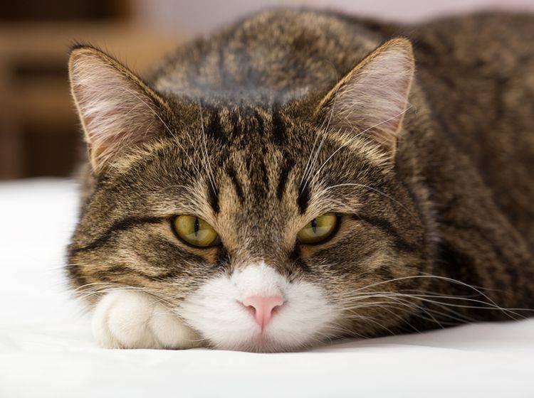 Übergewicht kann zu den Ursachen von Lebererkrankungen bei Katzen zählen – Shutterstock / Okssi