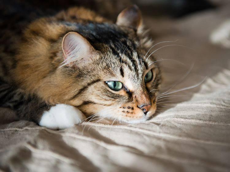 Eine Leberinsuffizienz bei Katzen zeigt sich durch verschiedene Symptome – Bild: Shutterstock / Valeri Potapova