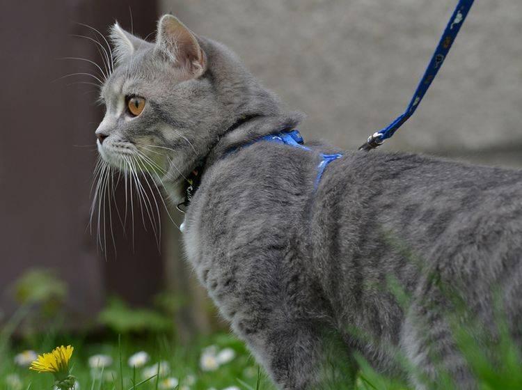 Spaziergänge mit der Katze an der Leine sind nicht unbedingt eine gute Idee – Bild: Shutterstock / Dreidos