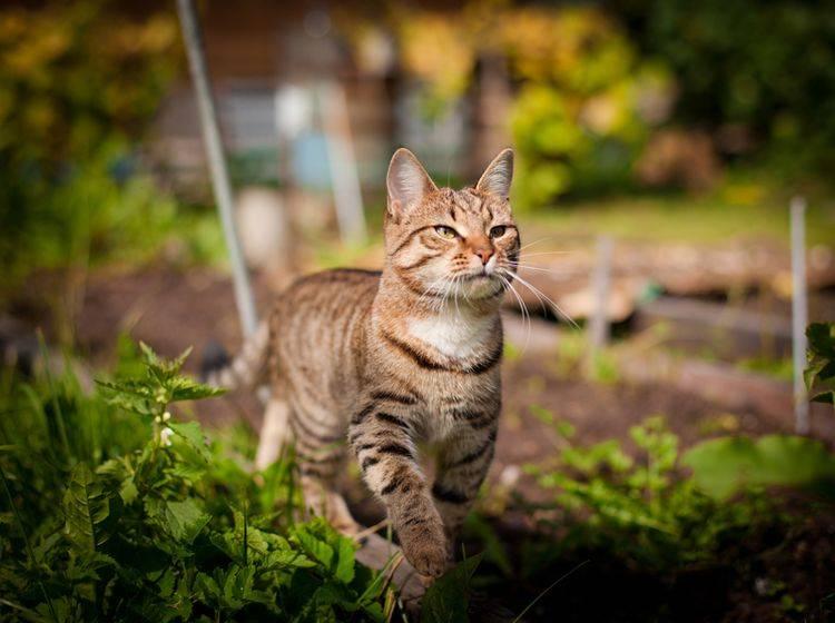 Ist Ihre Freigänger-Katze gechippt, können Sie sie bei Verlust besser wiederfinden – Shutterstock / dezi