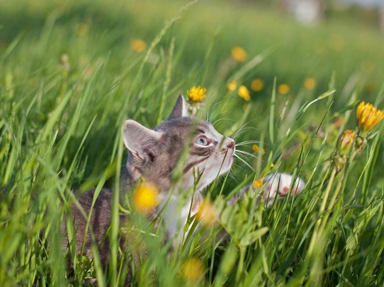 Im hohen Gras kann sich die Katze einen Wespenstich holen. – Shutterstock / Poprugin Aleksey