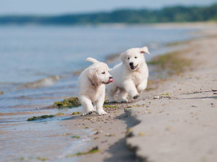 Hui, das macht Spaß! Zwei süße Golden Retriever Welpen am Hundestrand – Shutterstock / otsphoto