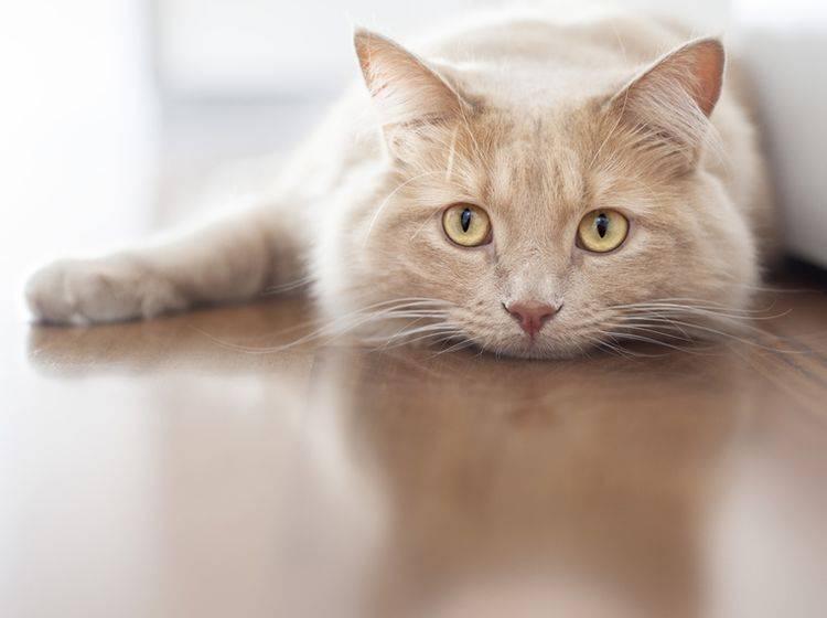 Leberinsuffizienz bei Katzen kann der Tierarzt in vielen Fällen behandeln – Bild: Shutterstock / Stefano Garau