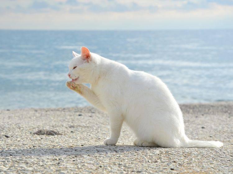 Weiße Katzen sind besonders gefährdet für Sonnenbrand – Shutterstock / Coniferine