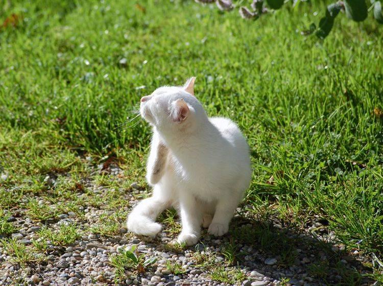 Ein Sonnenbrand bei Katzen juckt fürchterlich – Shutterstock / Dieter Hawlan