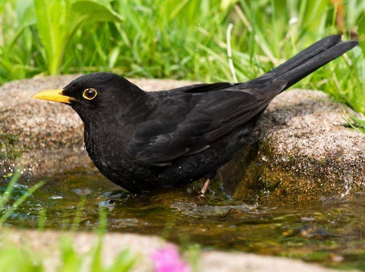 Interessant: Die Amsel wird auch als Schwarzdrossel bezeichnet – Bild: Shutterstock / JGade