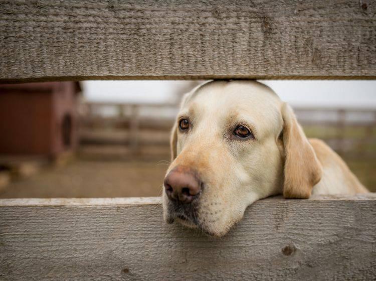 Die Symptome von Depressionen bei Hunden ähneln denen beim Menschen – Shutterstock / MIHAI DRAGNESCU