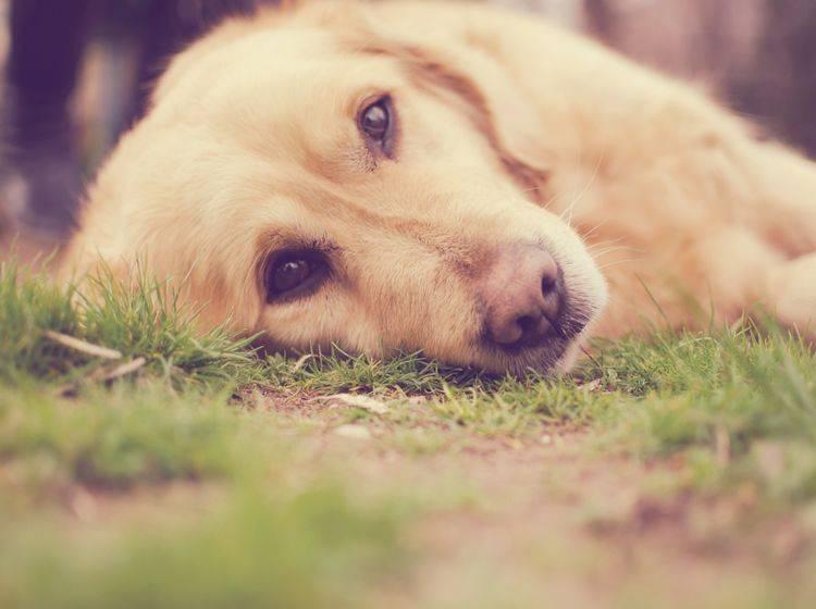 Hunde können ebenso wie Menschen an Depressionen erkranken – Shutterstock / Malija