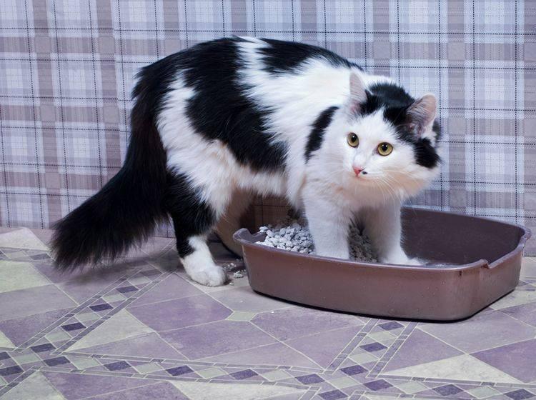 Katzen mit FLUTD haben Probleme beim Wasserlassen – Shutterstock / Tiplyashina Evgeniya