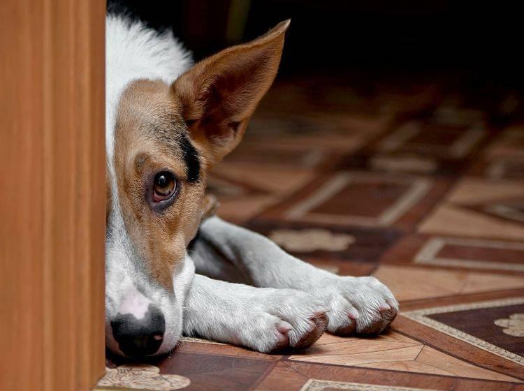 Eine Angststörung beim Hund ist mehr als bloß Furcht – Shutterstock / Elya Vatel