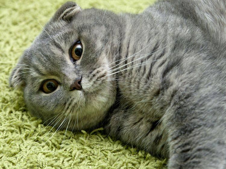 Eine Fettleber bei Katzen gilt es schnell zu behandeln – Bild: Shutterstock / MarishaSha