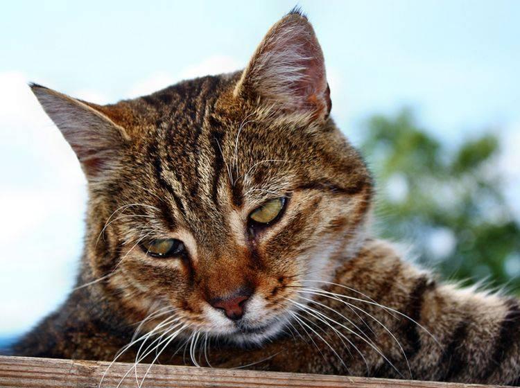 Depressionen bei Katzen lassen sich durchaus behandeln – Bild: Shutterstock / Adam J