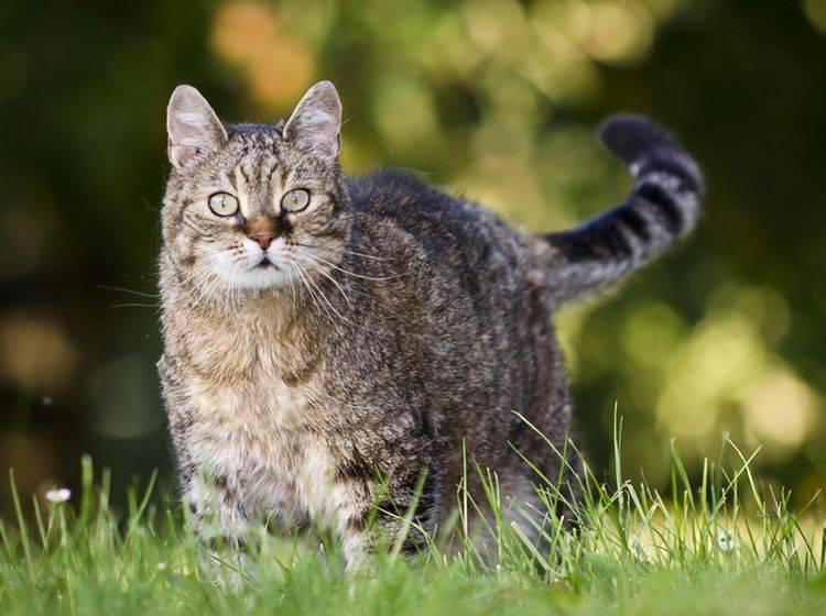 Übergewichtige Katzen neigen besonders zu einer Fettleber – Bild: Shutterstock / Pavel Mikoska