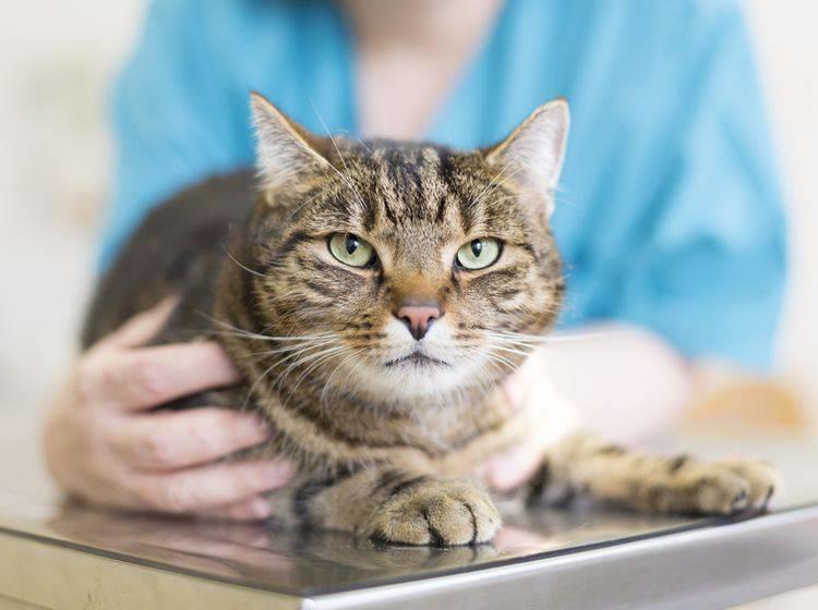 Vor einer Röntgen-Untersuchung wird die Katze vom Tierarzt durchgecheckt – Shutterstock / brodtcast