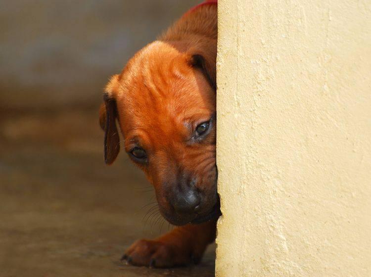 Die Ursachen einer Angststörung beim Hund sind vielfältig – Shutterstock / Anke van Wyk