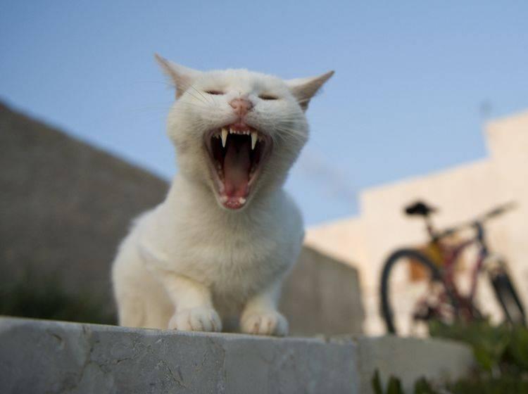 Wenn die Katze Mundgeruch hat, kann das ein Krankheitssymptom sein – Shutterstock / pio3