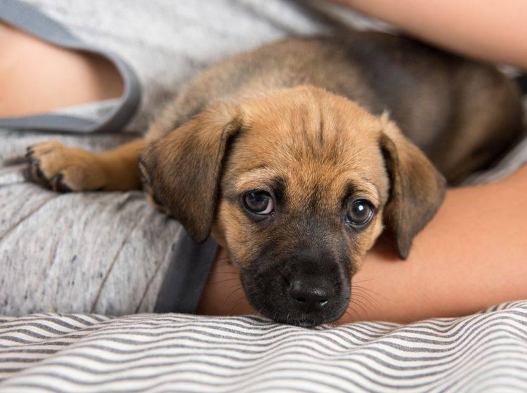 Mit viel Liebe, Fürsorge und der richtigen Therapie überwinden Hunde eine Angststörung – Shutterstock / Anna Hoychuk