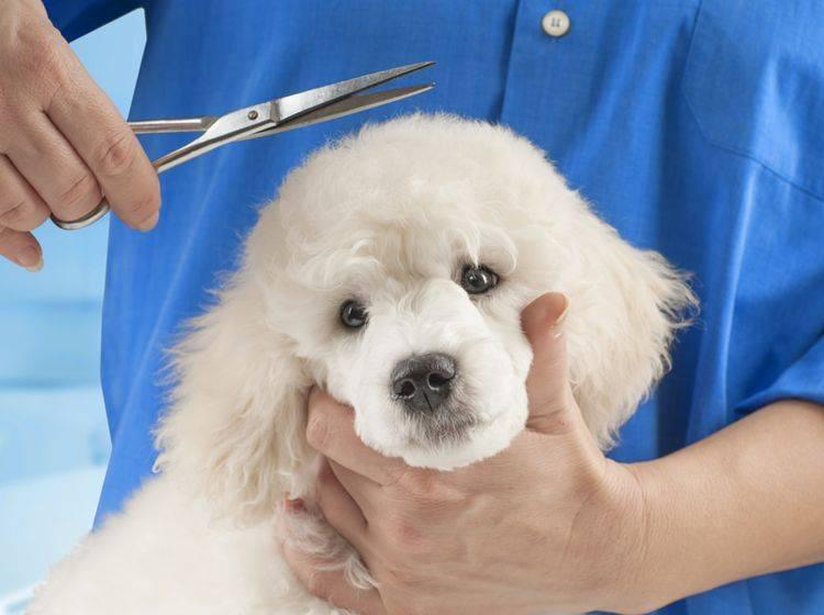 Das Hundefell zu scheren ist nicht immer sinnvoll – Shutterstock / Baronb