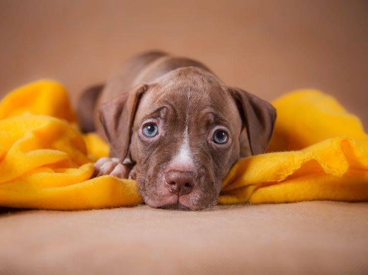Dieser niedliche Pitbull-Welpe ist nicht überall erlaubt – Shutterstock / dezi