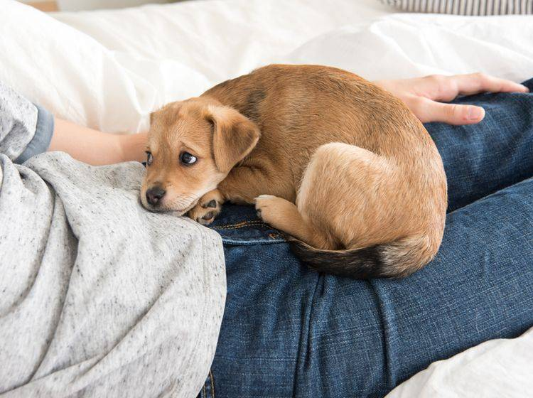 Bleib lange gesund, kleiner Hund! – Shutterstock / Anna Hoychuk
