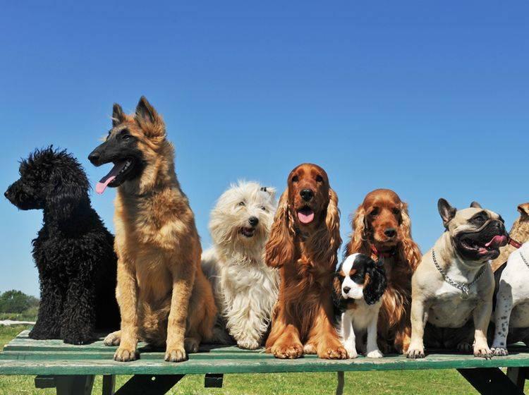 So viele süße Hunde! Doch welcher ist der Richtige? – Shutterstock / cynoclub