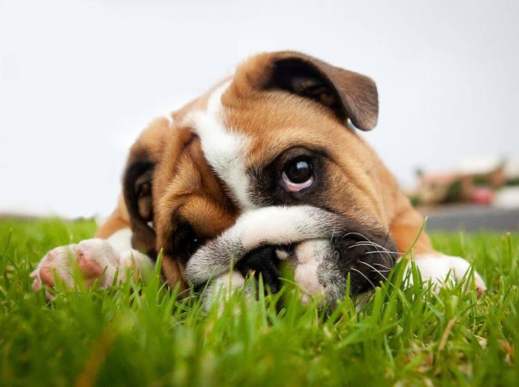 Der Welpenschutz ist in der Regel ein Mythos – Shutterstock / Grant Johnson