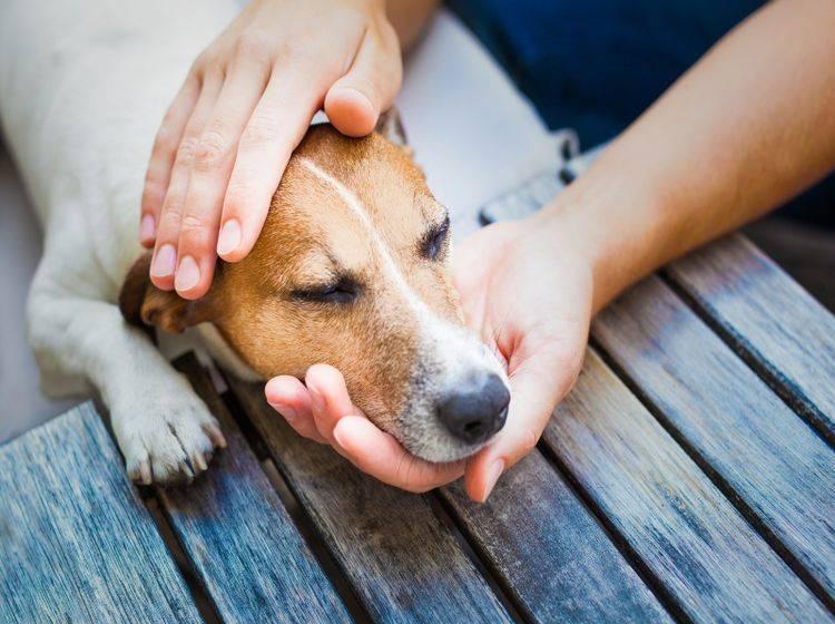 Hund hat Vergiftung-shutterstock-Javier Brosch-308645948