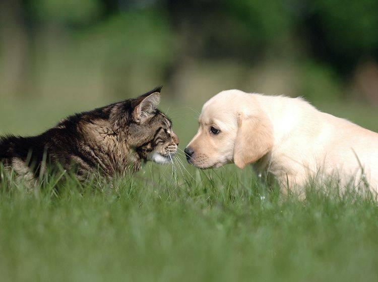 Hund und Katze sind nicht immer ein Herz und eine Seele – Shutterstock / Okeanas