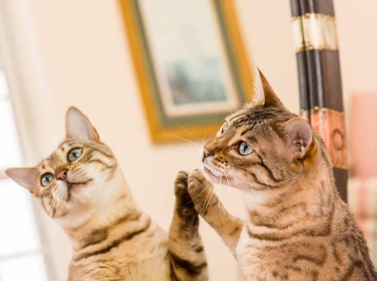 Was diese hübsche Bengal-Katze im Spiegel wohl sieht? – Shutterstock / Steve Heap