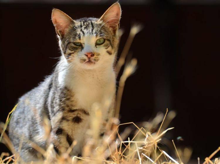 Katzen können von Geburt an blind sein oder ihr Augenlicht später verlieren – Shutterstock / Orhan Cam