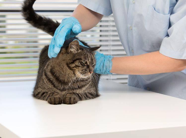Ein guter Tierarzt passt auf, dass der Katze unter Narkose nichts passiert – Shutterstock / NShubin