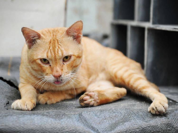 Husten bei Katzen sollten Sie vom Tierarzt untersuchen lassen – Shutterstock / 1000 Words