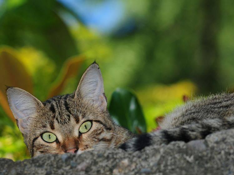 In einem Gehege im Freien hat Ihre Miez die Gelegenheit zum Versteckspielen – Bild: Shutterstock / Vahan Abrahamyan