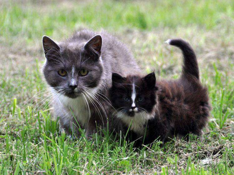 Die Katzenmama hat großen Einfluss auf die Katzenpersönlichkeit ihrer Babys – Shutterstock / Zanna Holstova