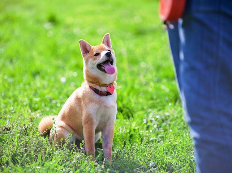 Beim Longieren lernt der Hund, besser auf seinen Halter zu hören – Shutterstock / supercat
