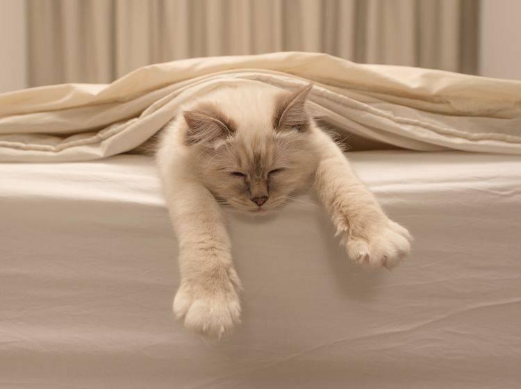 Schnurr! Diese Katze fühlt sich im Bett richtig wohl – Shutterstock / Jorn Out