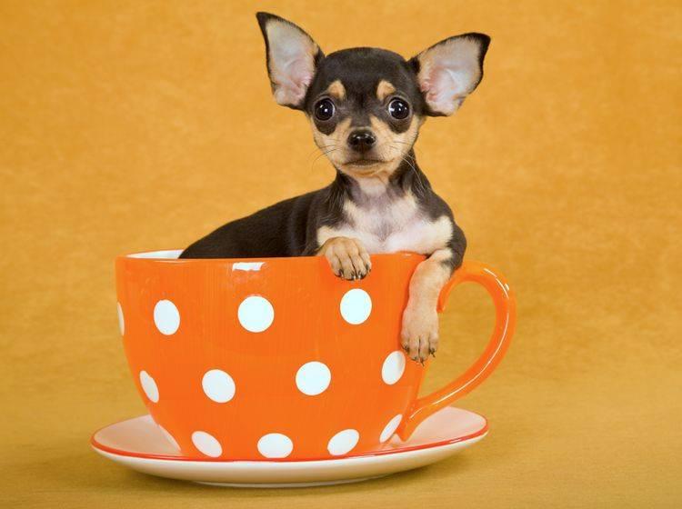 Der klitzekleine Teacup Chihuahua passt in eine Teetasse – Shutterstock / Linn Currie
