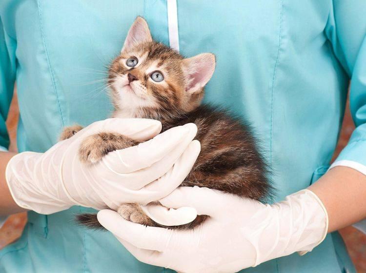 Will der Tierarzt die Katze genauer untersuchen, ist eine Ultraschalluntersuchung oft sinnvoll - Bild: Shutterstock / Lubava