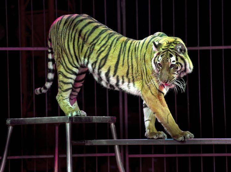 In den Niederlanden dürfen Tiger und andere Wildtiere nicht mehr im Zirkus auftreten – Shutterstock / Andrea Izzotti