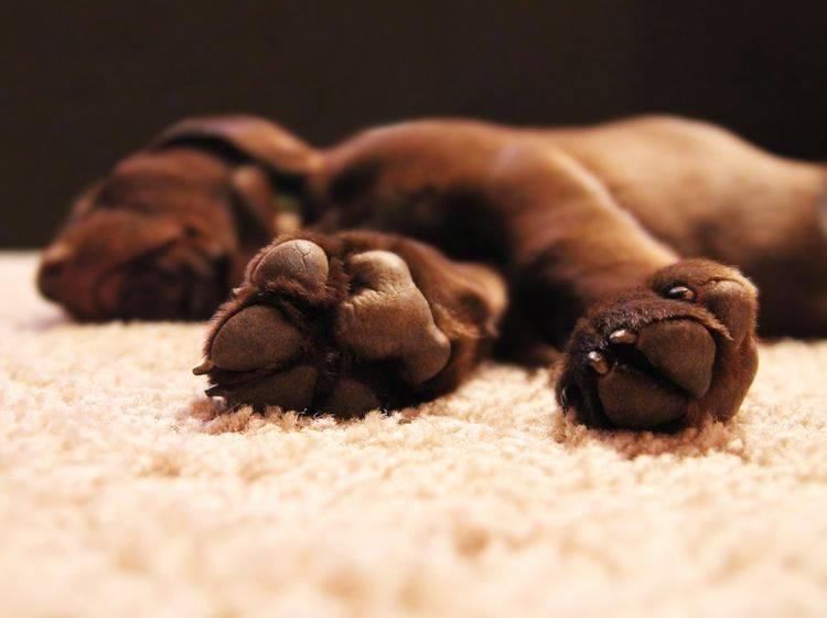 An den Pfoten und den Tasthaaren ist der Tastsinn beim Hund besonders ausgeprägt – Shutterstock / Annette Shaff