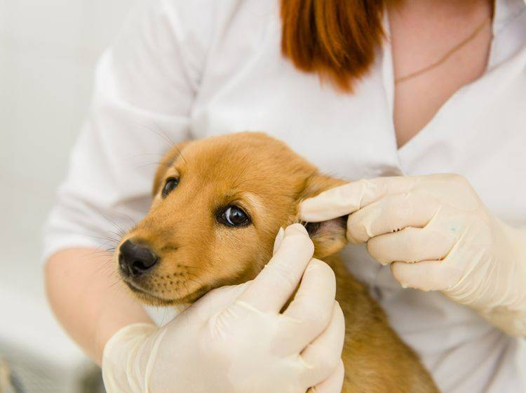 Ohrenkrankheiten wie Ohrenentzündungen sind bei Hunden weitverbreitet. – Bild: Shutterstock / Ermolaev Alexander