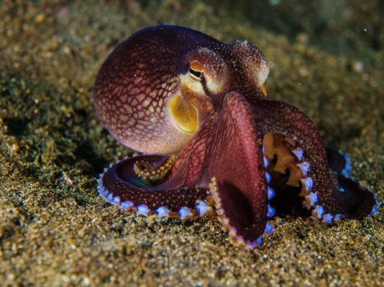 Der Oktopus wird auch als Gewöhnliche bzw. Gemeine Krake bezeichnet – Bild: Shutterstock / fenkieandreas