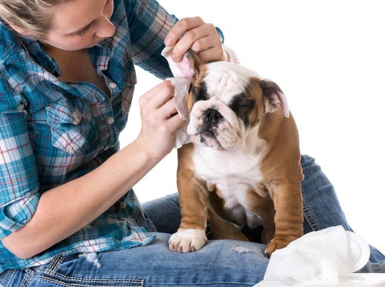 Vorsicht: Statt die Ohren Ihres Hundes selbst zu reinigen, sollten Sie lieber einen Tierarzt aufsuchen. – Bild: Shutterstock / WilleeCole Photography