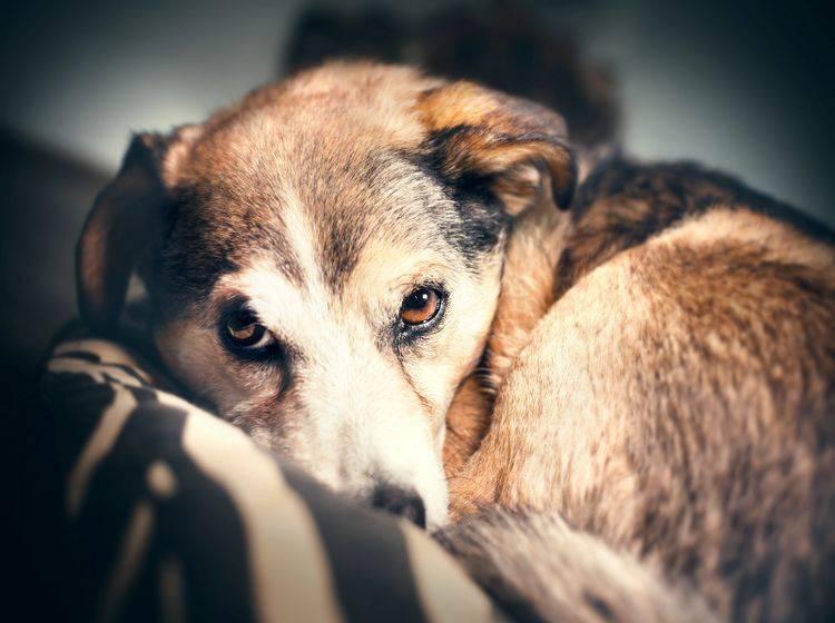 Eine Angststörung beim Hund ist eine ernstzunehmende Erkrankung – Shutterstock / Frankie's