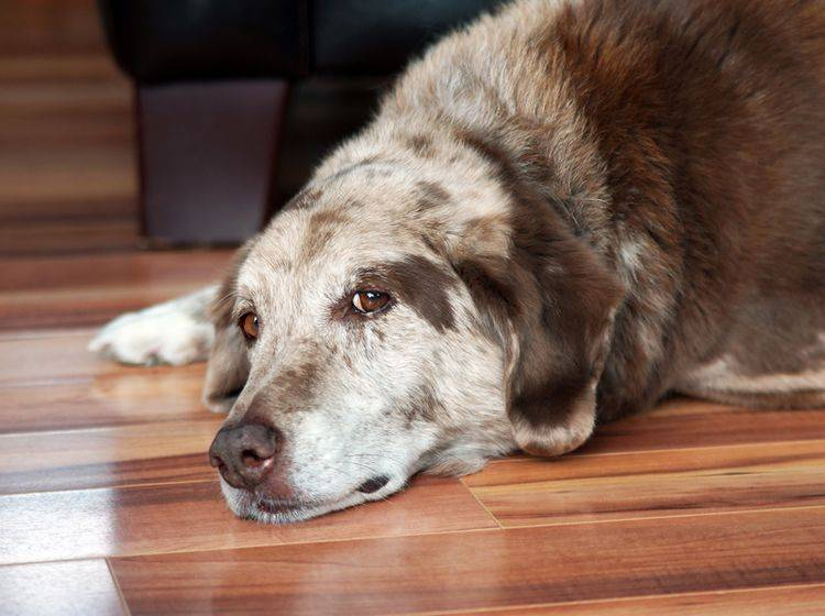 Hunde mit Demenz brauchen Ihre Unterstützung und viel Liebe – Shutterstock / Sylvie Bouchard