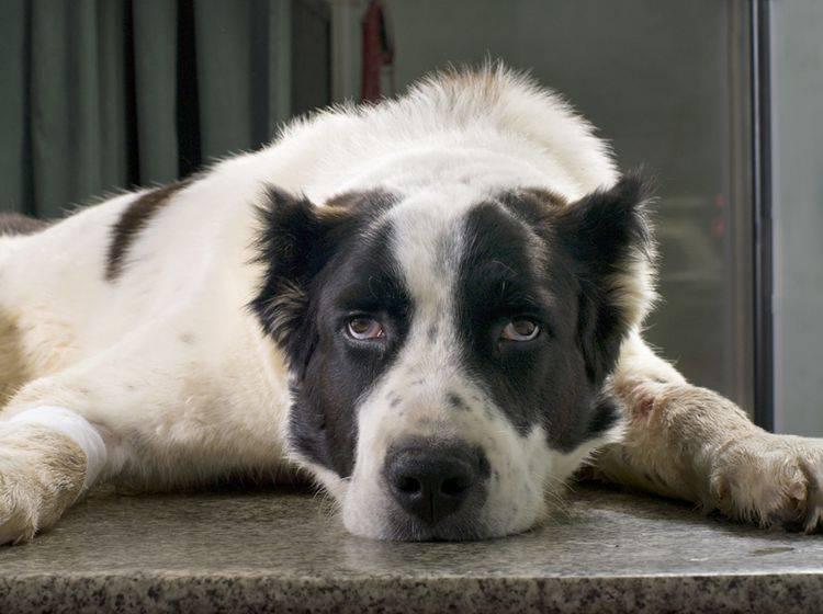 Hat der alte Hund noch Freude am Leben oder macht ihm die Demenz zu schaffen? – Shutterstock / Byelikova Oksana